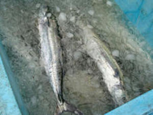 島の漁師飯 淡路島の生サワラ
